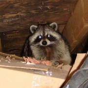 Locust Valley NY Raccoon Trapping Animal Removal 516-360-2904